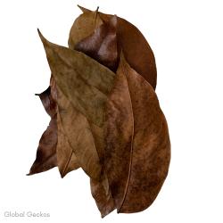 Natural Mahogani Leaves
