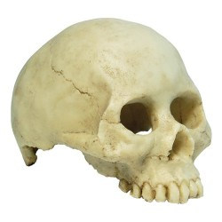 Repstyle Human Skull