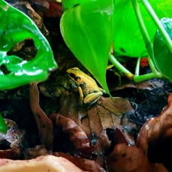 Black Legged Dart Frog (Bicolour)