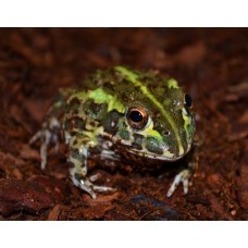 African Bull Frog (Pixie Frog)