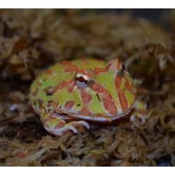 Horned Frog (Albino)