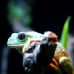 Mexican Giant Tree Frogs