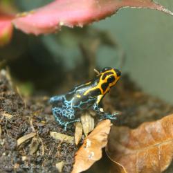 Varadero Mimic Poison Dart Frog