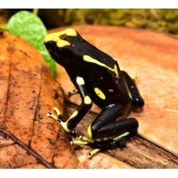 Alanis Dyeing Dart Frog