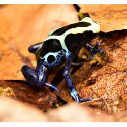 Cobalt Blue Dyeing Dart Frog