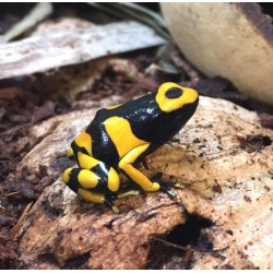 Bumble Bee Dart Frog
