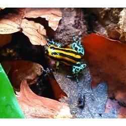 Sire Poison Dart Frog