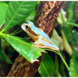 New Granada Cross Banded Treefrog (Blue Phase)