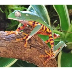 Tiger Leg Monkey Frog