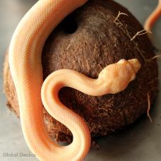 Caramel Albino Zebra Carpet Python