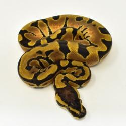 Royal Python (Enchi) - Female
