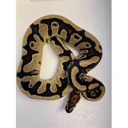 Royal Python (Fire Het Pied) - Male