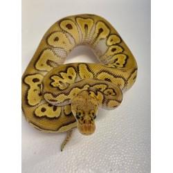 Royal Python (Pastave Clown)