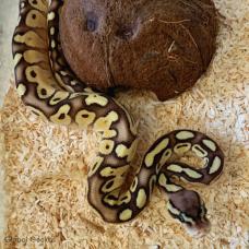 Royal Python (Pastel Lesser) Female