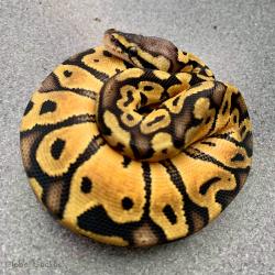 Royal Python (Pastel)