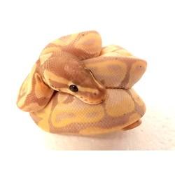Royal Python (Banana)