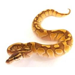 Royal Python (Enchi Lesser)