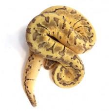 Royal Python (Pastel Pinstripe)