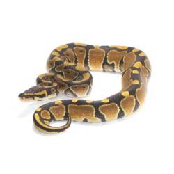 Royal Python (Normal)