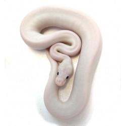 Royal Python (Black Eyed Leucistic)