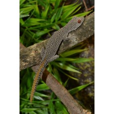Golden Tailed Gecko (Male)