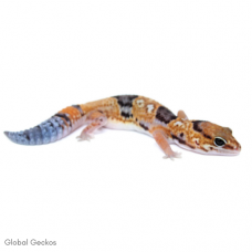 African Fat Tailed Gecko (Aberrant Whiteout)