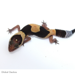 African Fat Tailed Gecko (Normal)