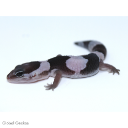 African Fat Tailed Gecko (Oreo)