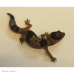 African Fat Tailed Gecko (Whiteout)
