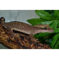 Sarasin's Giant Gecko