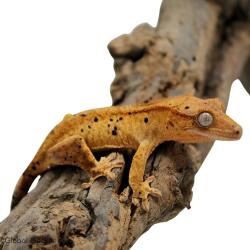 Crested Gecko (Dalmatian)