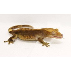 Crested Gecko (Flame)