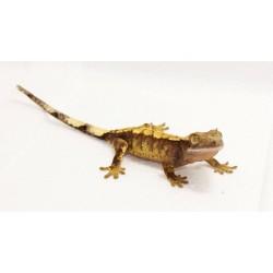 Crested Gecko (Harlequin)
