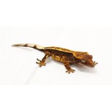 Crested Gecko (Pinstripe)