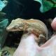 Gargoyle Gecko (Orange Striped)