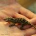 Gargoyle Gecko (Reticulated)