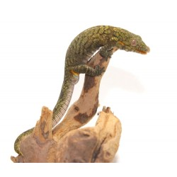 Bauer's Chameleon Gecko - Male