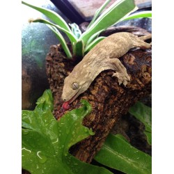New Caledonian Giant Gecko (Leachie) - Moro