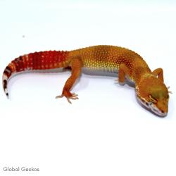 Leopard Gecko (Hypo)