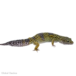 Leopard Gecko (Mack Snow)