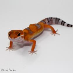 Leopard Gecko (Tangerine)