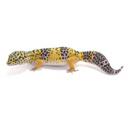 Leopard Gecko (Normal)