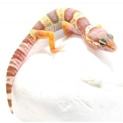 Leopard Gecko (Tremper Albino)