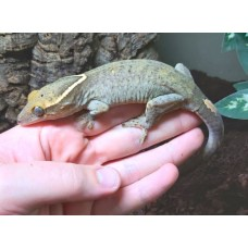 Sarasins Giant Gecko