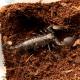 Scorpion - Emperor (Pandinus imperator)