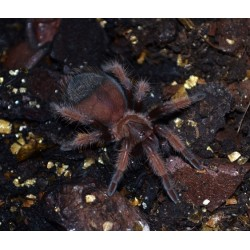 Tarantula - Mexican Red Leg (Brachypelma emelia)