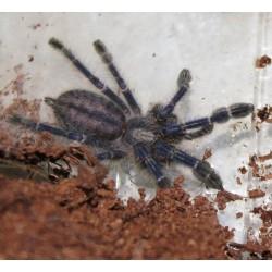 Tarantula - Gooty Ornamental (Poecilotheria metallica)