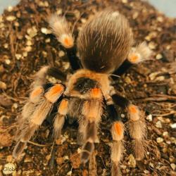 Tarantula - Mexican Red Knee (Brachypelma hamorii)