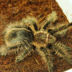 Tarantula - Curly Hair (Brachypelma albopilosum)