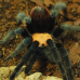 Tarantula - Mexican Red Rump (Brachypelma vagans)